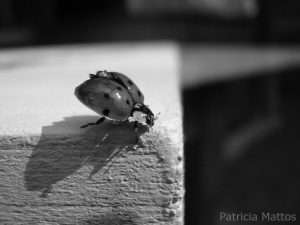 black_and_white_ladybug_by_pancholina-d3164az